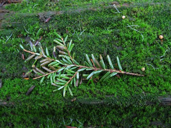 yew-branch
